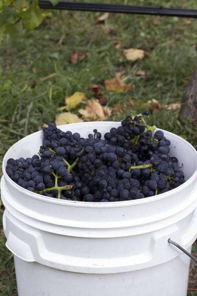 grapes bucket
